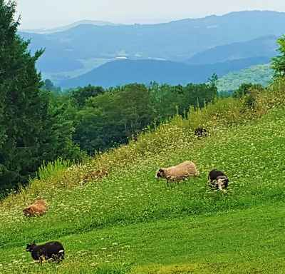 Mountain_pasture_sheep