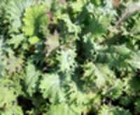 Red-russian-kale